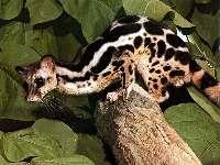 http://www.world-of-animals.de/Bilder/tiere/hg2/linsang.JPG